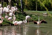 Постер, плакат: Group Of Greater Flamingos