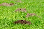 picture of mole  - Mole hills on lawn grass and animal head in soil - JPG
