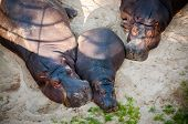 foto of hippopotamus  - The hippopotamus  - JPG
