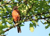 picture of sun perch  - American Robin perched on branch dew covered mornig sun - JPG