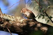 stock photo of sun perch  - Song Sparrow perched on branch in morning sun - JPG