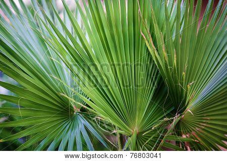 Three Palm Leaf Closeup.