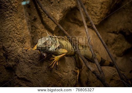 A red Iguana resting on the rock.