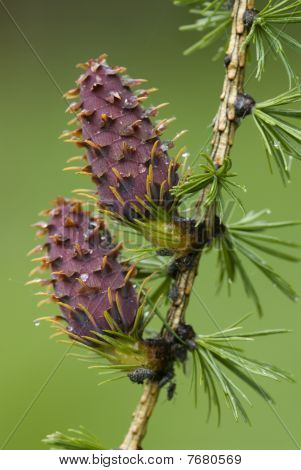Pinecones of the European larch tree