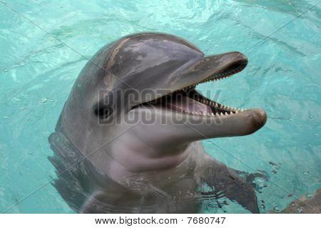 Delfín nariz de botella, close-up
