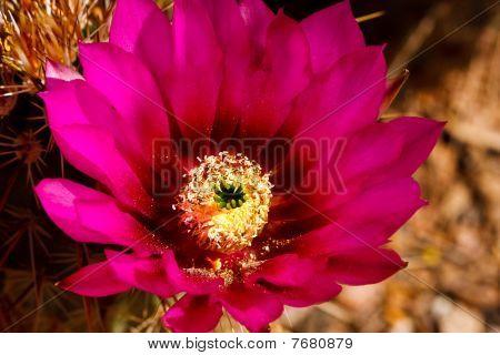 Beautiful Cactus Flower Blossom
