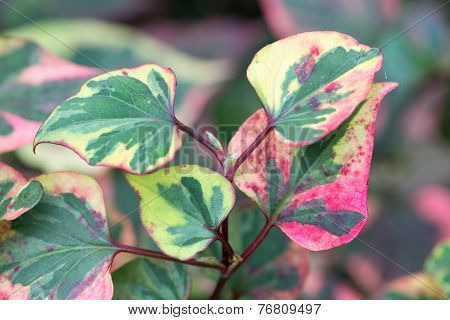 Colorful Leaves Of Houttuynia Cordata Chameleon