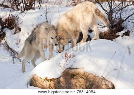 Wolf Affection