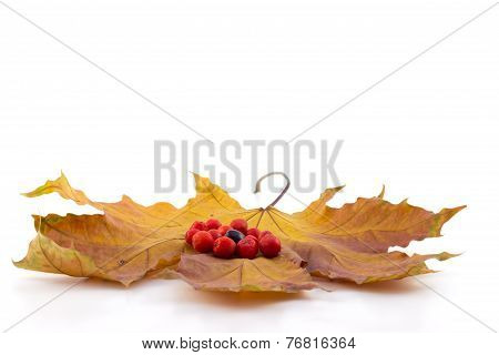 Black And Red Berries Of A Mountain Ash On A Maple Autumn Leaves On A White Background
