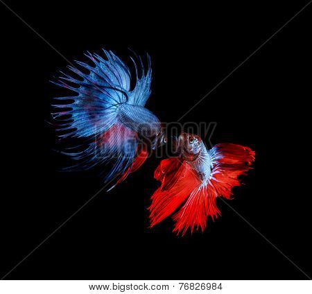 Red And Blue Betta Fighting Fish Top Form Preparing To Fight Isolated Black Background