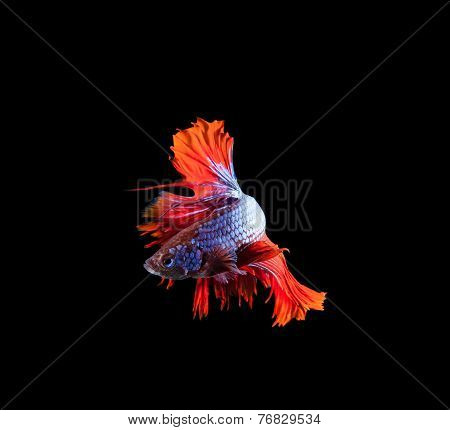 Red Tail And Fin Thai Siamese Betta Fighting Fish Show Beautiful Of Full Body Isolated On Black Back