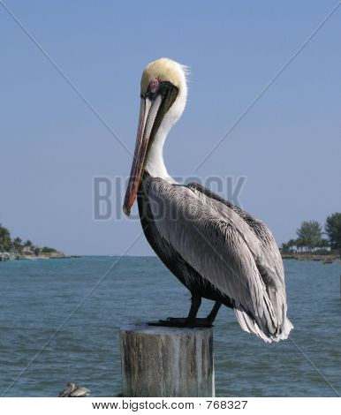 Pelican Jupiter Inlet looking at me