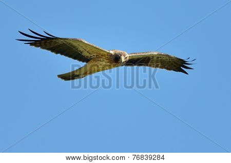 boted eagle flying (aquila pennata)