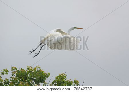 Great Egret Taking Flight From A Texs Rookery