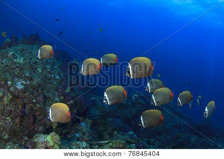 School Redtail Butterflyfish