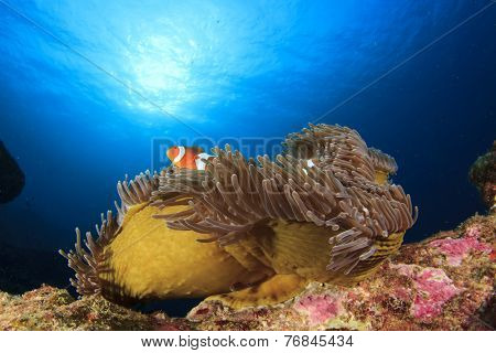 Nemo Fish (Clown Anemonefish in sea anemone)