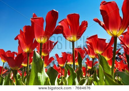 Red Tulips, Blue Sky