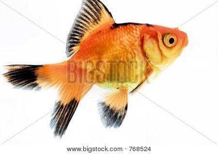 Calico Fantail Goldfish