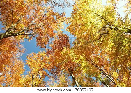 Autumn beech trees on a cloudless morning