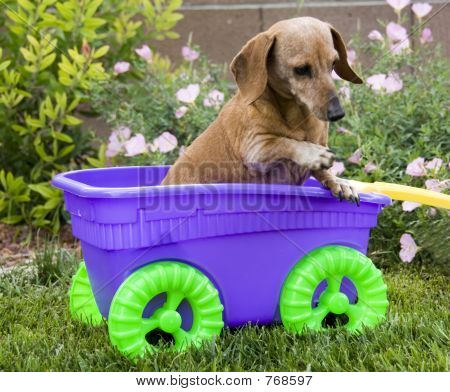 Old Lady Dachshund in a cart
