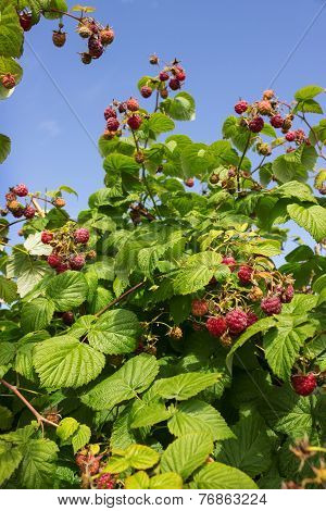 Berries Of Raspberries On The Background Of Blue Sky