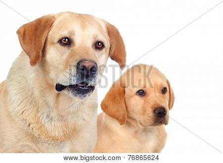 Labrador puppy with his mother isolated on white background