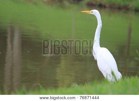 Egret in park of Curitiba