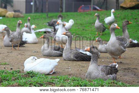 gooses in park of Curitiba
