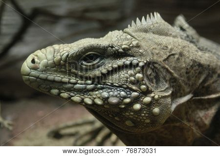 Cuban rock iguana (Cyclura nubile).