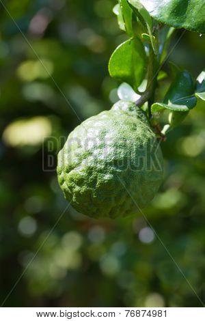 Bergamot or Kaffir Lime fruits