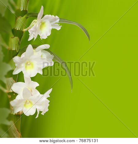 The Noble Dendrobium (Dendrobium nobile). Mountain orchid from The Himalayas.