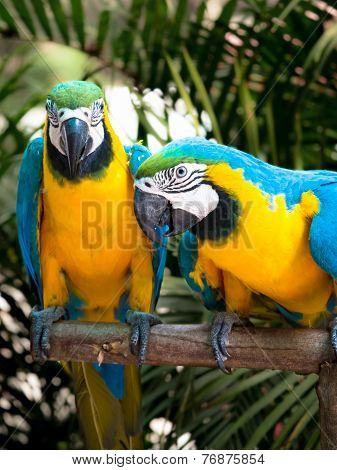Yellow And Blue Parrot Couple