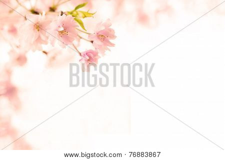 Abstract Pink Cherry Blossom Flower Background