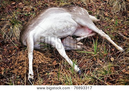 Fallow Deer Female Killed In Hunt