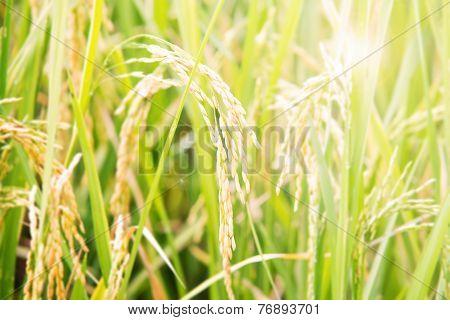Thai paddy rice in farm