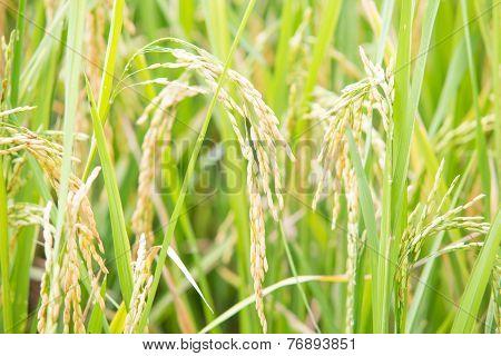 Thai paddy rice plantation