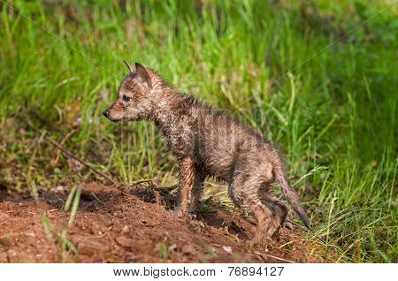 Soaking Wet Coyote Pup (canis Latrans) At Densite