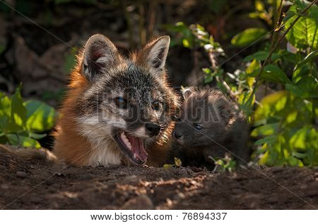 Grey Fox (urocyon Cinereoargenteus) Vixen And Kit Nose Together