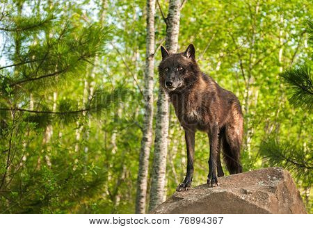 Black Wolf (canis Lupus) Atop Rock