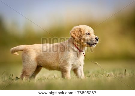 Golden Retriever Puppy Standing In The Sun