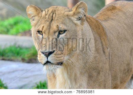 Head of Lioness standing