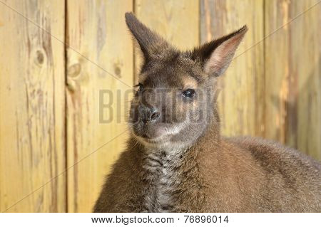 Wallaby face