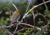 foto of red robin  - Robin Red Breast On Branch in Ireland - JPG