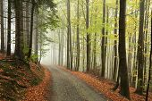 stock photo of alder-tree  - Path through the autumnal forest on a foggy morning - JPG