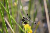 stock photo of sun perch  - a picture of a perched dragonfly sunning itself - JPG