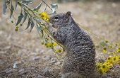 picture of nibbling  - Cute squirrel nibbling on flowers in the desert - JPG