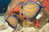 pic of angelfish  - PAir Ringed Angelfish - JPG