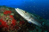 pic of barracuda  - Great Barracuda at cleaning station with cleaner wrasse  - JPG