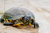 image of testudo  - a little turtle on the beach relaxing - JPG