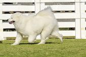 image of wolf-dog  - A young beautiful white fluffy Samoyed puppy dog walking on the grass. The Sammy dog looks like a white wolf but it is very gentle sweet and often called Smiley Sami